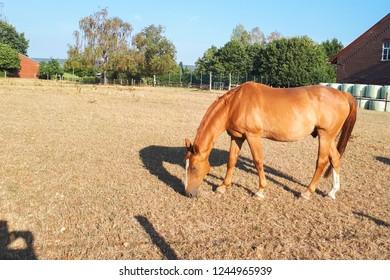 light brown horse grazes in a meadow on a farm in Germany