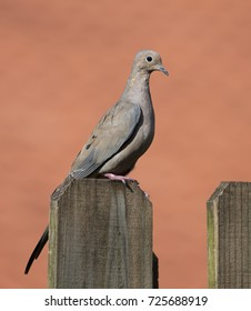 Light brown mourning dove with a blue-grey ring around its black eye is standing on a brown wood fence against a blurred peach colored background.