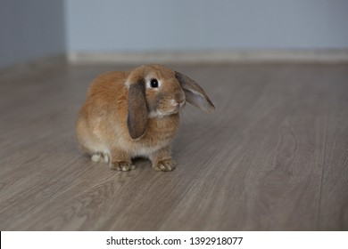 Light brown orange bunny rabbit, sitting, looking at the floor in the room, you can see the plinth