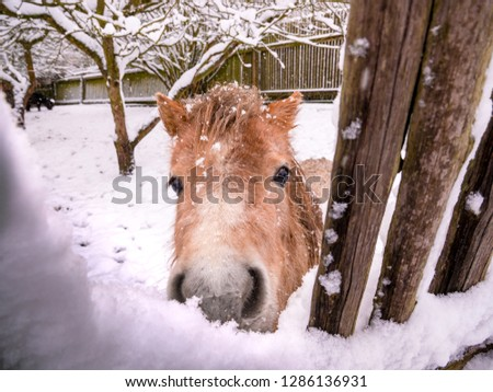 The light brown pony looks through the snowy fence directly into the lens - snowfall captured in motion