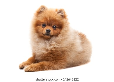 Light brown shpitz puppy lying over white background and looking at camera