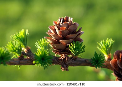 Light brown young larch cone in spring in greenery.