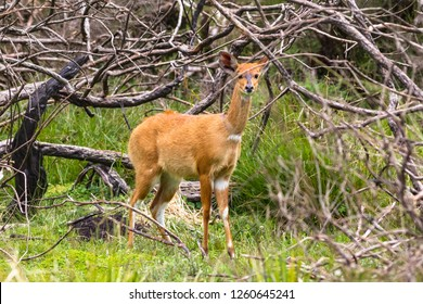 Light bushbuck antelope in the bush. Aberdare, Kenya