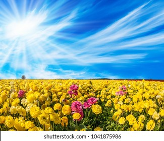 Light cirrus clouds fly in the blue sky. Warm sunny day in May. Adorable yellow garden buttercups - ranunculus bloom on a farm field. Concept of ecological tourism
