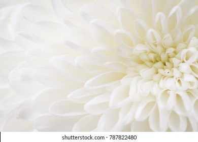light closeup of white Chrysant flower with shadows and center on the right with shallow depth of field