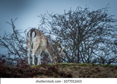 Light colored fallow buck grazing