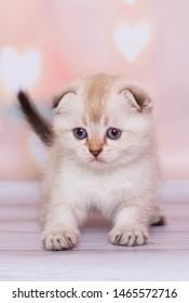 light colored Scottish Fold cat