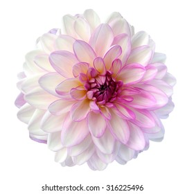 light colorful dahlia flower isolated on white background