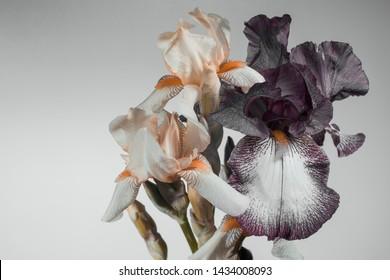 light and dark irises, buds on a light gray background, studio shooting.