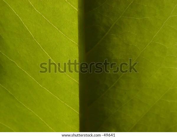 Light to Dark Magnolia Leaf