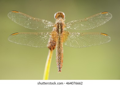 light dragonfly posed on a branch with a green  background