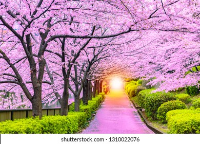 Light at the end of the cherry tree or sakura tunnel and walkway in Tokyo Japan