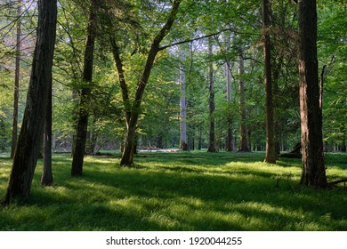 Light entering rich deciduous forest in morning with old oak tree in foreground, Bialowieza Forest, Poland, Europe