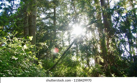 Light filters through the trees in a forest in Washington State (Fort Flagler State Park)