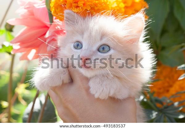 light ginger kitten in hands on the background colors