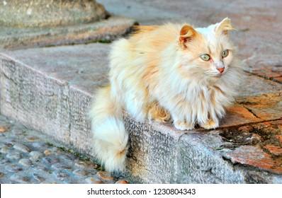 Light Ginger Stray Cat of Andalusian Garden /Jardin Andalous, Rabat, Morocco