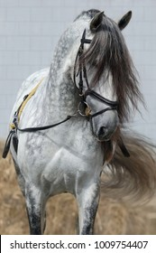 Light gray horse with long dark gray forelock. Horse ammunition for training on cord.