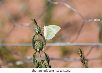 A light green butterfly sitting on a flower plant in a typical garden setting, Wire mesh in the background.