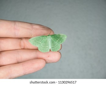 Light green Emerald moth, resting with wings spread on male person fingers, isolated on gray background