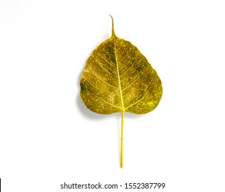 light Green leaf texture Bodhi leaves on white background.