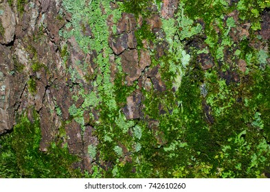 A lot of light green lichen and dark green moss on a brown bark of a tree texture. Close-up macro shot.