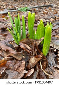 Light green plants popping out of the ground in Spring.