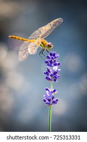 A light green and rusty orange Sympetrum dragonfly perches on deep purple lavender buds in Hokkaido, Japan
