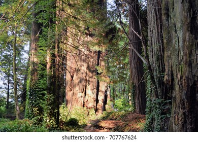 Light highlights huge redwood tree on Avenue of the Giants, State Route 254, California.