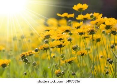 Light irradiation yellow flowers