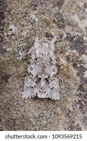 Light Knot Grass (Acronicta menyanthidis) moth sitting on a rock.
