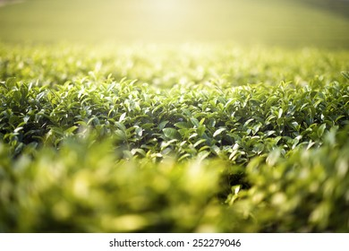 Light To Leaf in green tea farm (Warm tone and soft focus)