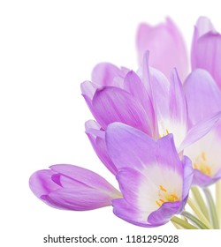 light lilac crocus flowers isolated on white background