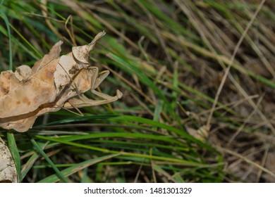 Light Mantis. Mantis sits on a dry leaf on a background of green grass. Light mantis close up.