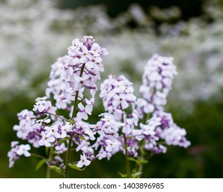 Light mauve or purple wallflowers bloom in the spring with a cluster of flowers; Wallflowers(erysimum) in front of many small white flowers blurred in the background;