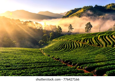 Light morning mist the strawberry farm is Ang Khang in Thailand. Beautiful background nature.