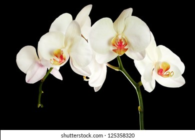 light orchid flowers isolated on black background