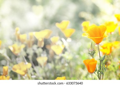 A light pastel field of poppies in a blurred background.