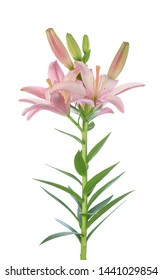 Light pastel pink lily isolated on white