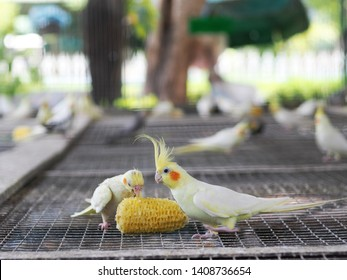 light pastel tone color little cute young parrots birds eating and drinking, making happy noisy high tone beaks in a large cage in pet shop for sale