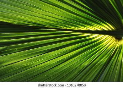 Light penetrates the palm leaf (sabal bermudana or Bermuda palmetto or bibby-tree)
