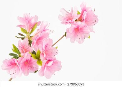 Light pink azalea flowers in clusters on shrub branch.