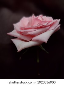 Light pink blooming rose against dark brown linen fabric drapery background