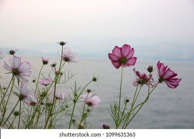 Light pink Cosmos flowers create an interesting contrast against the smoky skies of Lake Chelan, Washington.