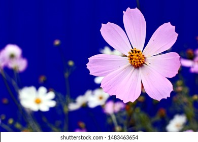 light pink cosmos in the garden, Families Of Asteraceae
