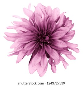 light pink dahlia  flower white  background isolated  with clipping path. Closeup. For design. Nature.