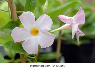 light pink dipladenia in the garden