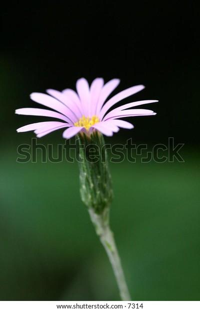 light pink flower in full bloom