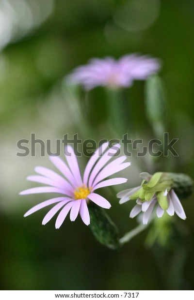 light pink flower in full bloom