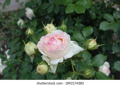 Light pink flower of rose in the garden in May