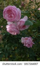Light Pink Flower of Rose 'Lovely Meilland' in Full Bloom  - Shutterstock ID 1817266007